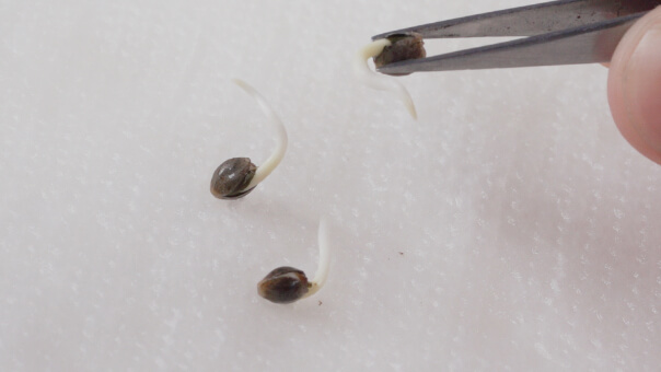 Cannabis Seeds With Taproot
